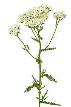 Achillea millefolium flower