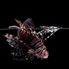 Wall Mural - Lionfish on black background