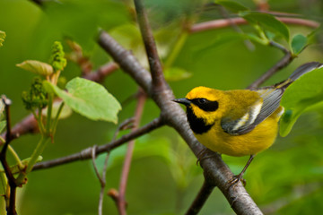 Lawrence's Warbler