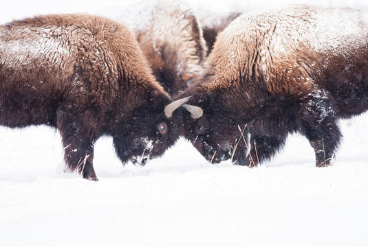 Bisons fighting
