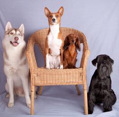 Husky, basenji, duchshund and shnautzer