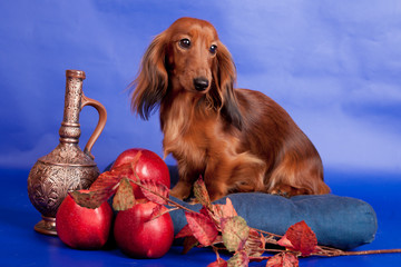 Long haired dachshund sitting with decoration on blue background