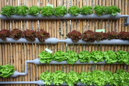 hydroponic salad vegetable.