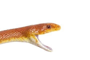 Portrait of Texas rat snake closeup