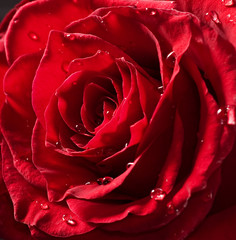 beautiful red rose with drops