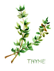 Thyme, watercolor illustration