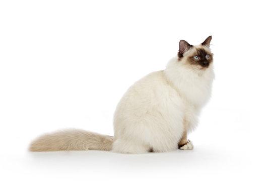 portrait véritable chat Sacré de Birmanie