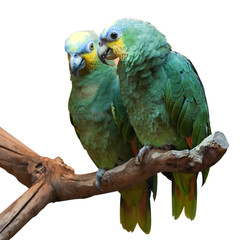 Couple of Yellow-Crowned Amazon Parrot