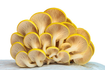 Industrial growth of oyster mushrooms on white plastic