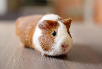 Cute Guinea pig