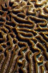 Wall Mural - close up of brain coral in ocean