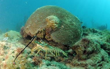 Fototapete - Caribbean spiny lobster in natural habitat