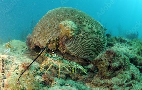 Wall mural Caribbean spiny lobster in natural habitat