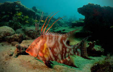 Wall Mural - Hogfish or underwater lachnolaimus maximus
