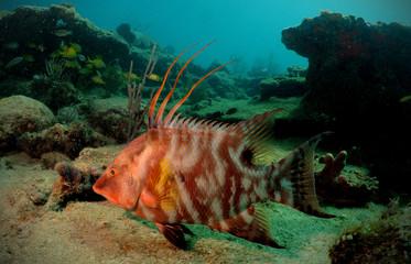 Fototapete - Hogfish or underwater lachnolaimus maximus