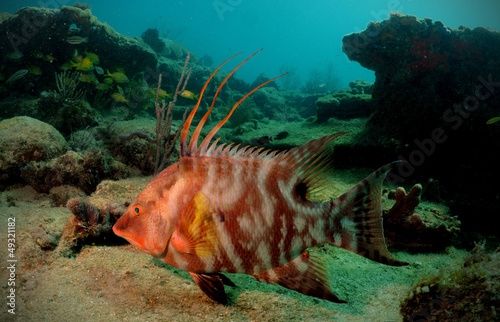Wall mural Hogfish or underwater lachnolaimus maximus