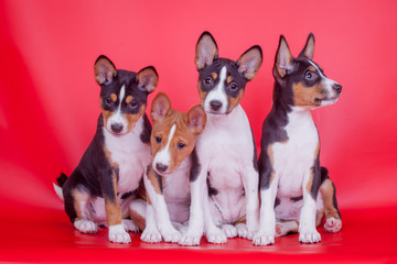 Four Little Basenji puppies, 2 mounth, on the red