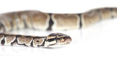 Royal Python over white