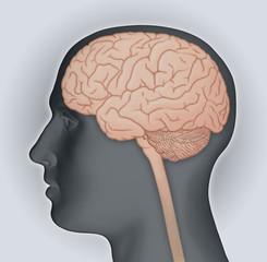 Männeerkopf mit Gehirn (und Rückenmark)