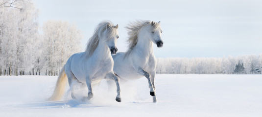 Wall Mural - Two galloping white ponies