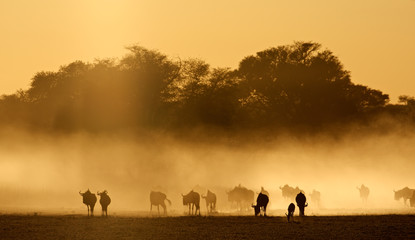 Blue wildebeest in dust, Kalahari desert
