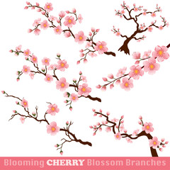Blooming Cherry Blossom Branches on White