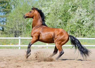 Wall Mural - Rearing bay stallion of Ukrainian riding breed