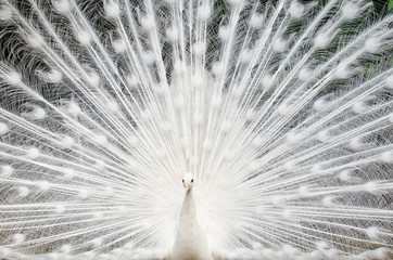 In de dag Pauw White peacock with feathers out