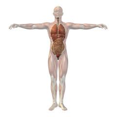 High resolution conceptual 3D human structure, internal organs