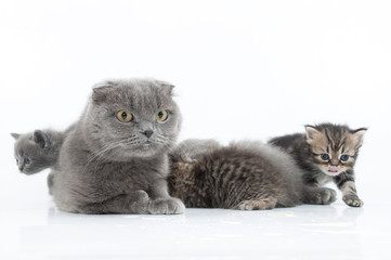 family portrait of Scottish fold cats