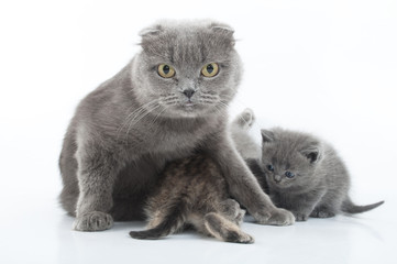 portrait of Scottish fold cats family