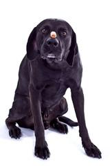 Hund mit Leckerchen auf der Nase