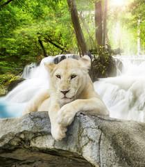 Obraz Biały lew - fototapety do salonu