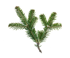 Fir branch white isolated