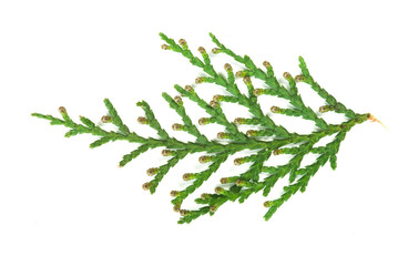 Evergreen branch white isolated