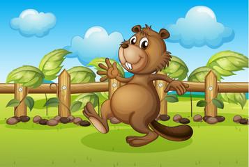 A beaver running inside a fence