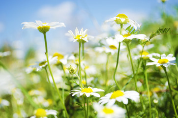 Field of Leucanthemum