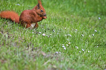 Red squirrel on a green meadow