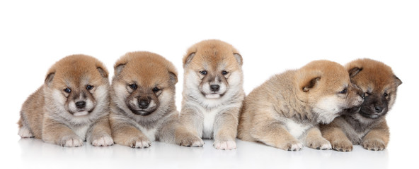 ShibaInu puppies on a white backgroud