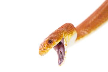 Texas rat snake closeup