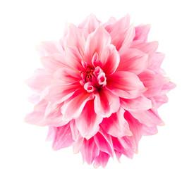 Fotobehang Dahlia pink dahlia isolated
