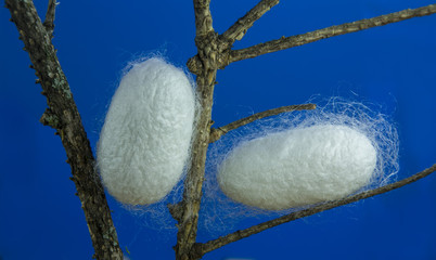 silkworm cocoons in some branches