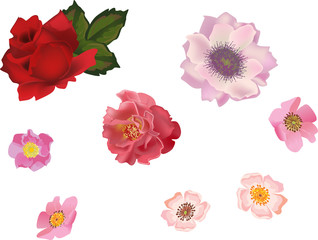 rose and pink brier flowers isolated on white