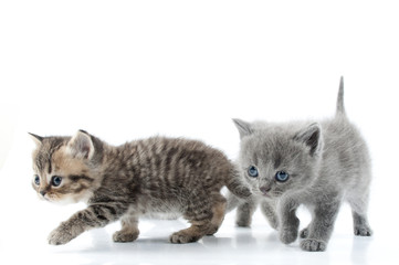 Two kittens walking towards together. Studio shot. Isolated over