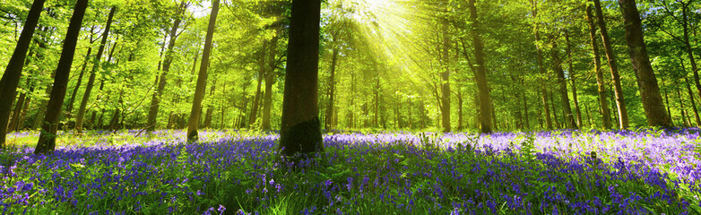 Panoramic Bluebell Wood Wall mural