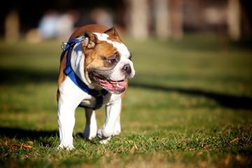 Bulldog pet