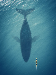 Man in a boat floats next to a big fish, whale.