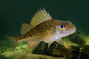 Underwater photo of The Eurasian Ruffe (Gymnocephalus cernuus).