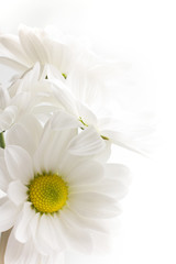 White chrysanthemum.