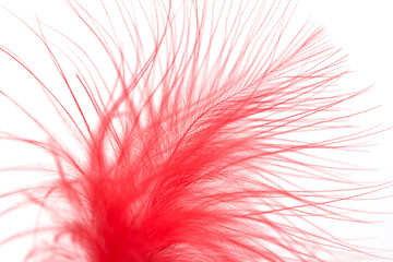 red feather on a white background. macro